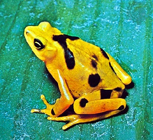 A Panamian golden toad